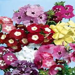 1347-Alev Çiçeği 1 paket