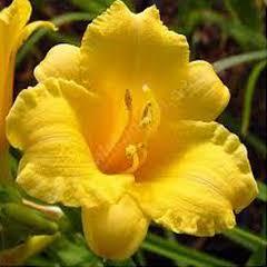 1315-Ezan Çiçeği 1paket