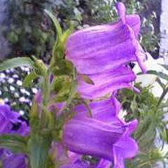 1327-Fincan Çiçeği 1paket