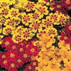 1349-Frasız Kadife Çiçeği 1 paket