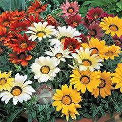 1341-Gazanya Çiçeği 1paket