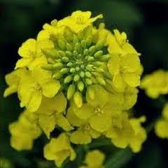 1317-Hardal Çiçeği 1paket