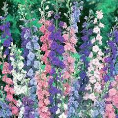 1339-Hezaren Çiçeği 1paket