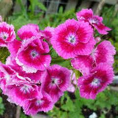 1302-Hüsnü Yusuf Çiçeği 1paket