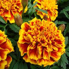 1310-Karaköz Kadife Çiçeği 1paket