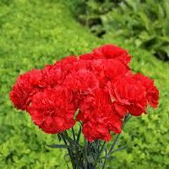 1321-Karanfil Kırmızı 1paket
