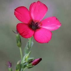 1325-Keten Çiçeği 1paket