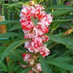 1307-Kına Çiçeği 1paket
