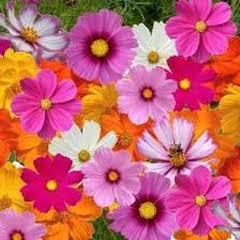 1338-Kozmoz Çiçeği 1paket