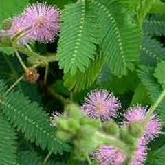 1344-Küstüm Çiçeği 1paket