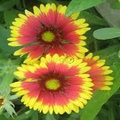 1311-Menaz Çiçeği Tohumu 1paket