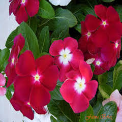 1350-Pervane Çiçeği 1 paket