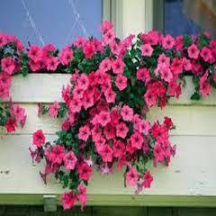 1306-Petunya Çiçeği 1paket