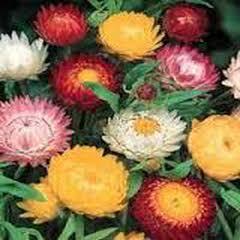 1342-Saman Çiçeği 1paket