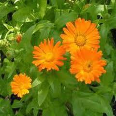 1301-Şamdan Çiçeği 1paket