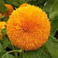 1303-Süs Ayçiçeği 1paket
