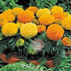 1318-Top Kadife Çiçeği 1paket