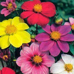 1333-Yıldız Çiçeği Dalya 1paket