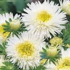 1332-Yıldız Çiçeği Prenses 1paket