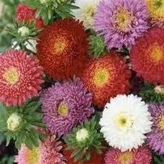 1331-Yıldız Çiçeği Kaliforniya 1paket